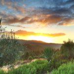 Vineward Sunset